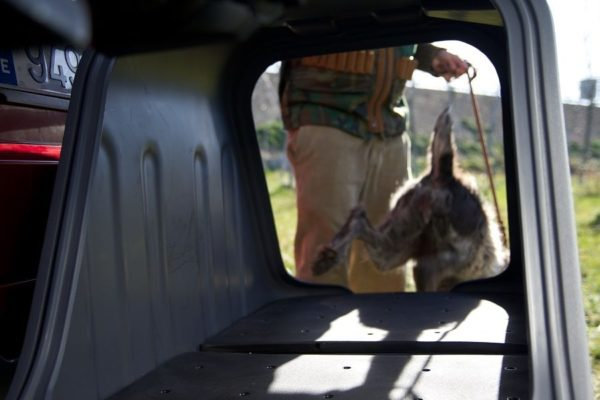 Perro-de-caza-saliendo-del-Towbox-V2-DOG